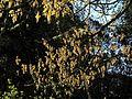 P20160324-0053—Quercus kelloggii—RPBG (26133116306).jpg