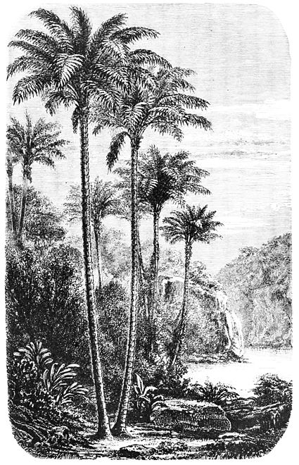 PSM V03 D335 Palm trees.jpg