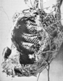 PSM V51 D331 Nest of the paper hornet vespa maculata.png