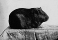 PSM V67 D203 Guinea pig with short smooth pigmented coat.png