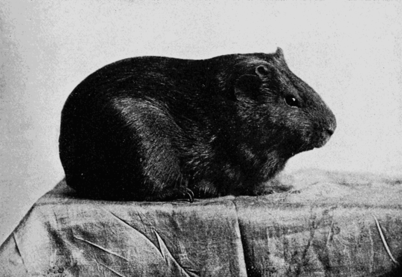 File:PSM V67 D203 Guinea pig with short smooth pigmented coat.png