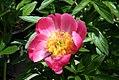 Paeonia lactiflora Pink Delight 1zz.jpg