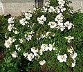 Paeonia suffruticosa G01.jpg