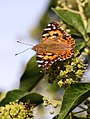 Painted Lady (29606947960).jpg