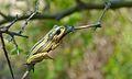 Painted Reed Frog (Hyperolius marmoratus) (5984078857).jpg
