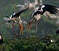Painted Stork (Mycteria leucocephala) in Uppalpadu, AP W IMG 3308.jpg