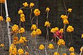Pajaritos (Epidendrum ibaguense) - Flickr - Alejandro Bayer (1).jpg