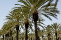 Palm tree palms form line in a shopping center in Irvine, California LCCN2013633163.tif