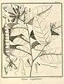 Paloue guianensis Aublet 1775 pl 141.jpg