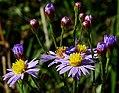 Panonski zvezdan - Tripolium pannonicum - cvetovi.jpg