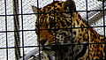 Panthera onca - jaguar - Zoologique Paris 10.JPG