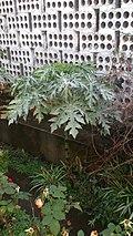 Papayera hoja blanca (3).jpg