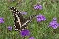 Papilio demodocus-01 (xndr).jpg