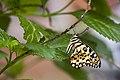 Papilio demoleus Linnaeus, 1758 (23419795833).jpg