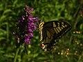 Papilio machaon - Common yellow swallowtail - Махаон (26302947807).jpg