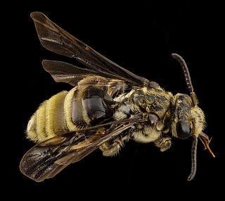 <i>Paranomada velutina</i> Species of bee