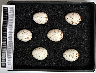 European crested tit - Eggs, Collection Museum Wiesbaden