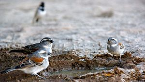 Cape sparrow - Females drinking at a waterhole in Namibia