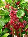 Pavonia strictiflora (9534794653).jpg