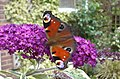 Peacock butterfly on a buddleia bush - geograph.org.uk - 1411071.jpg