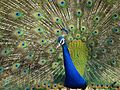 Peacock with open feathers.jpg