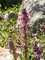 Pedicularis rostratospicata subsp helvetica RF.jpg