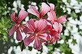 Pelargonium (1).jpg