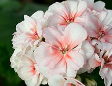 Pelargonium Wikipedia