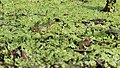 Pelophylax ridibundus 5.jpg