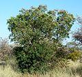 Peltophorum africanum, habitus, Steenbokpan.jpg