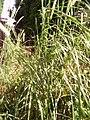 Pennisetum purpureum plante.jpg