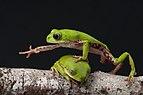 Perereca-macaco - Phyllomedusa rohdei.jpg