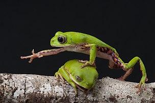 Deux mâles Pithecopus rohdei se disputant une branche, l'un passant par-dessus l'autre, dans la forêt atlantique, à Igrapiúna, dans l'État de Bahia. Cette photographie a été nommée Image de l'année 2017 sur Wikimedia Commons. (définition réelle 4288×2848)