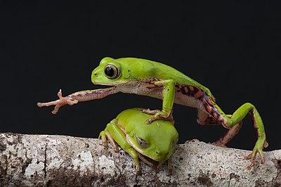 Dos machos de Phyllomedusa rohdei, una especie de rana.