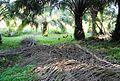 Perkebunan kelapa sawit milik rakyat (85).JPG