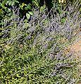 Perovskia atriplicifolia 4.jpg