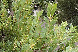 <i>Persoonia lanceolata</i> a shrub in the family Proteaceae native to New South Wales in eastern Australia