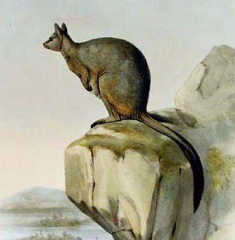 Unadorned rock-wallaby - Image: Petrogale inornata 2