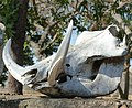 Phacochoerus africanus, skedel, Waterberg.jpg