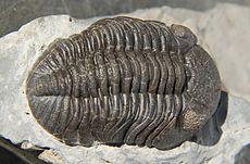 Phacops rana crassituberulata dorsal.jpg