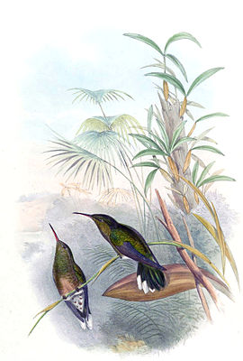 Scale breast hummingbird illustrated by John Gould