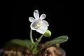 Phalaenopsis parishii fma. alba (x self) Rchb.f., Bot. Zeitung (Berlin) 23- 146 (1865) (34727724504).jpg