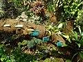 Phaleonopsis Jardin Botanique de Tourcoing.JPG