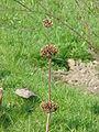Phlomis russeliana2.jpg