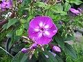Phlox paniculata Laura 0zz.jpg