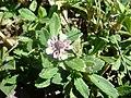 Phyla-nodiflora-20070919.JPG