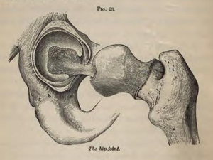 Physiology for Young People - 1884 - The hip joint.png