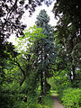 Picea engelmannii & P. abies Syrets.JPG