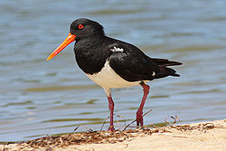 Pied oystercatcher walking along a beach