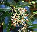 Pieris formosa in Dunedin Botanic Garden 02.jpg